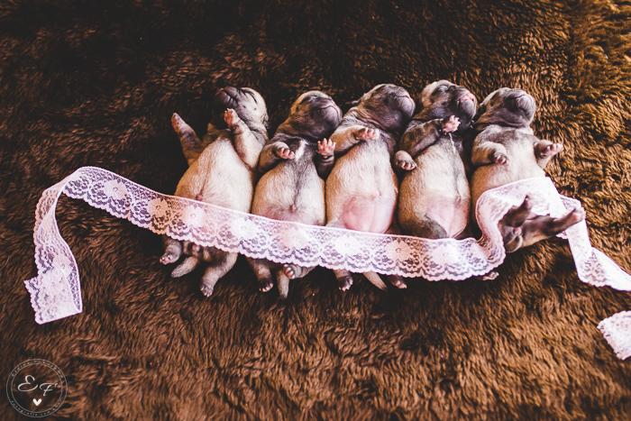 Pugs newborn-10