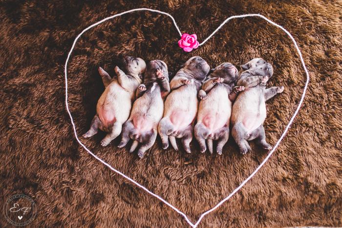 Pugs newborn-15