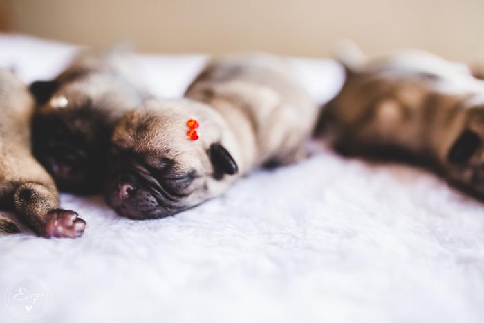 Pugs newborn-17