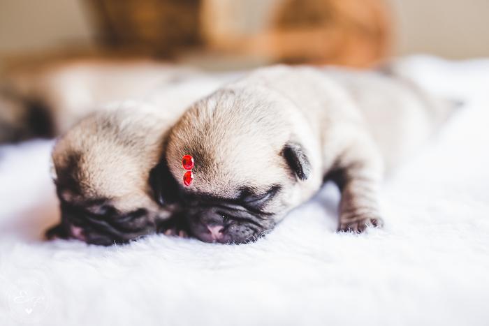 Pugs newborn-22