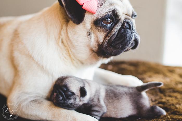 Pugs newborn-43