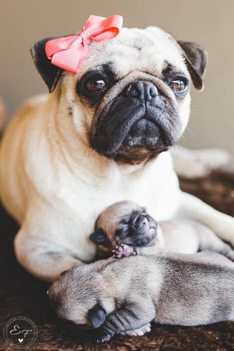 Pugs newborn-47