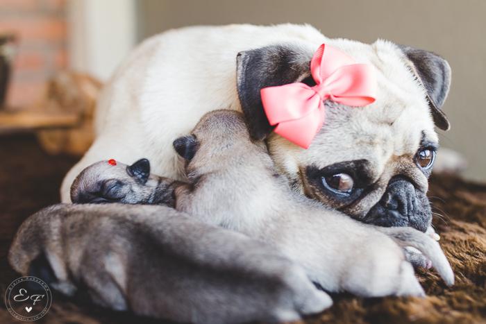 Pugs newborn-48