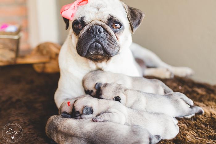 Pugs newborn-49