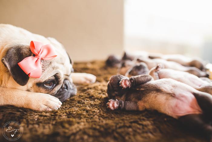 Pugs newborn-55