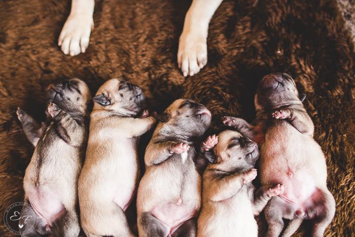 Pugs newborn-57