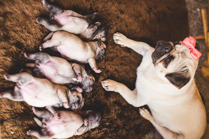 Pugs newborn-60