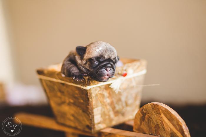 Pugs newborn-7