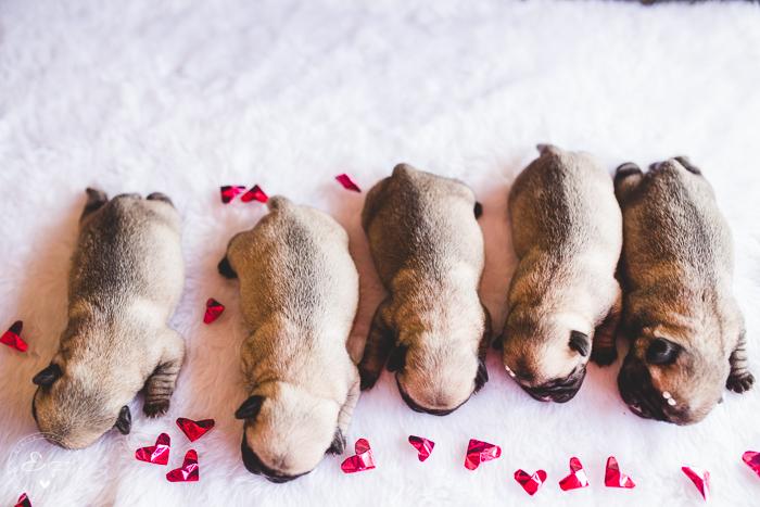Pugs newborn-72