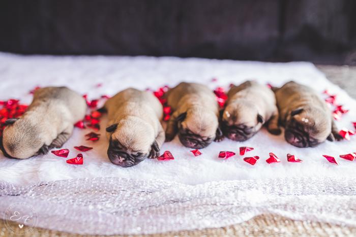 Pugs newborn-74