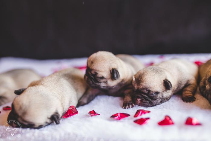 Pugs newborn-78