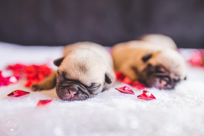 Pugs newborn-81