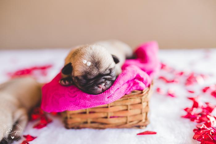 Pugs newborn-83