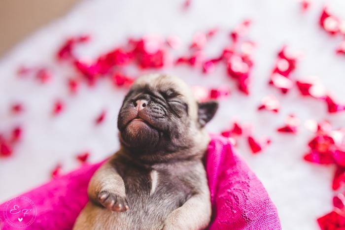 Pugs newborn-89